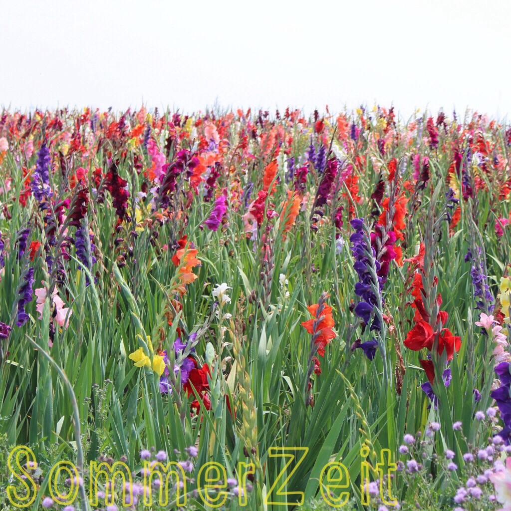 Gladiolen Feld