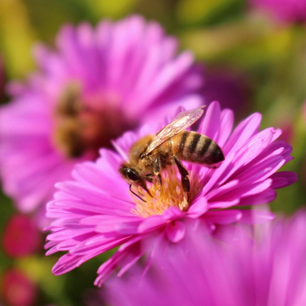 Herbstblume mit Biene
