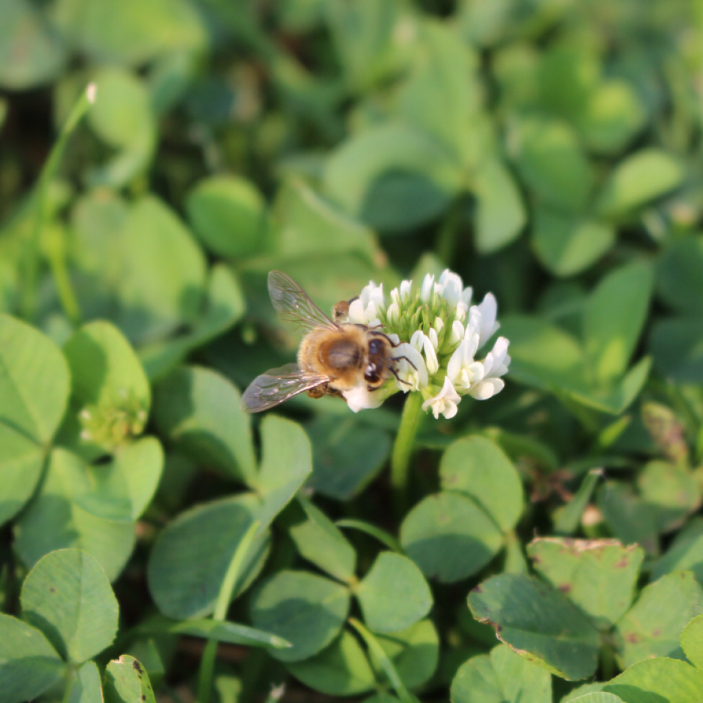 Biene im Klee