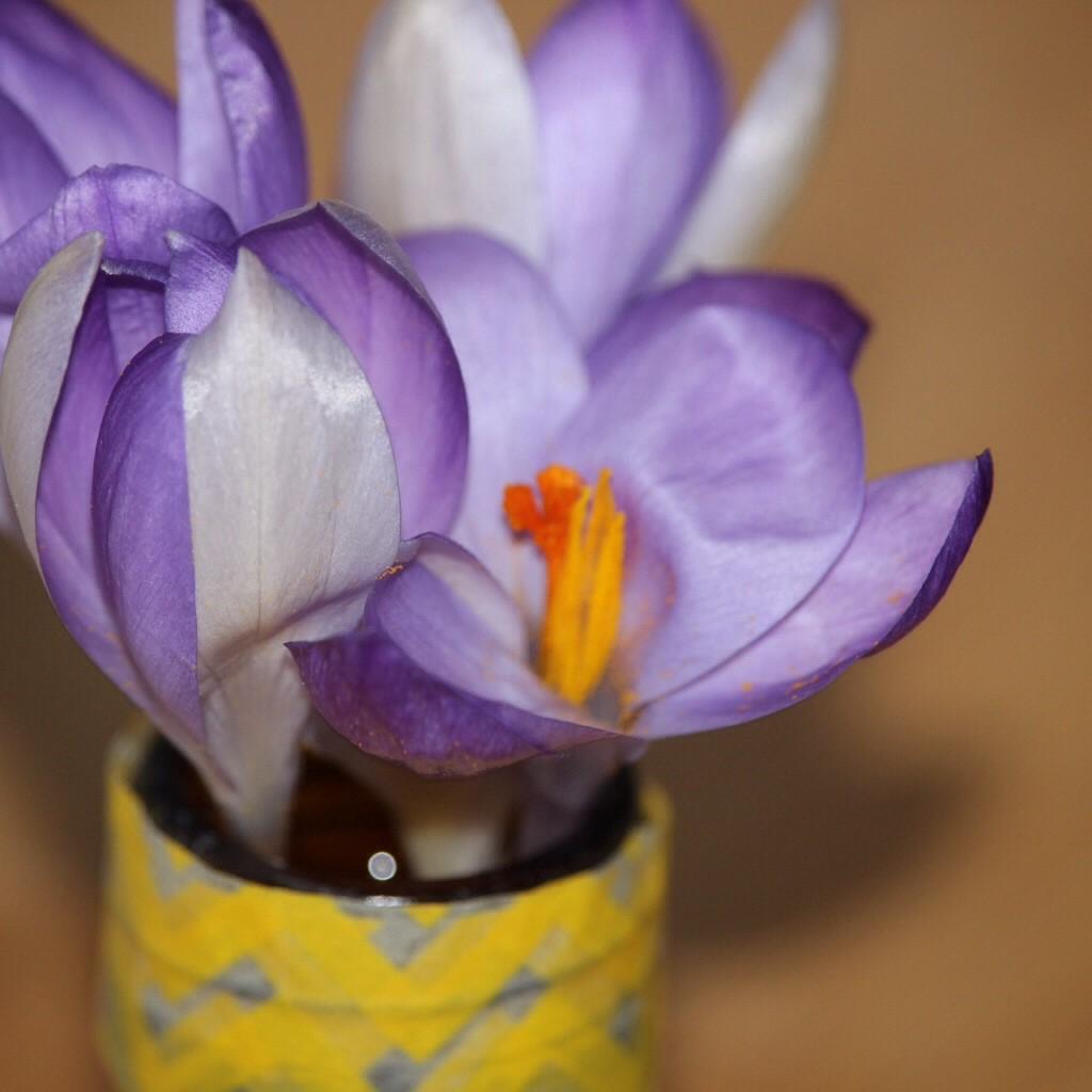 Krokus in Vase
