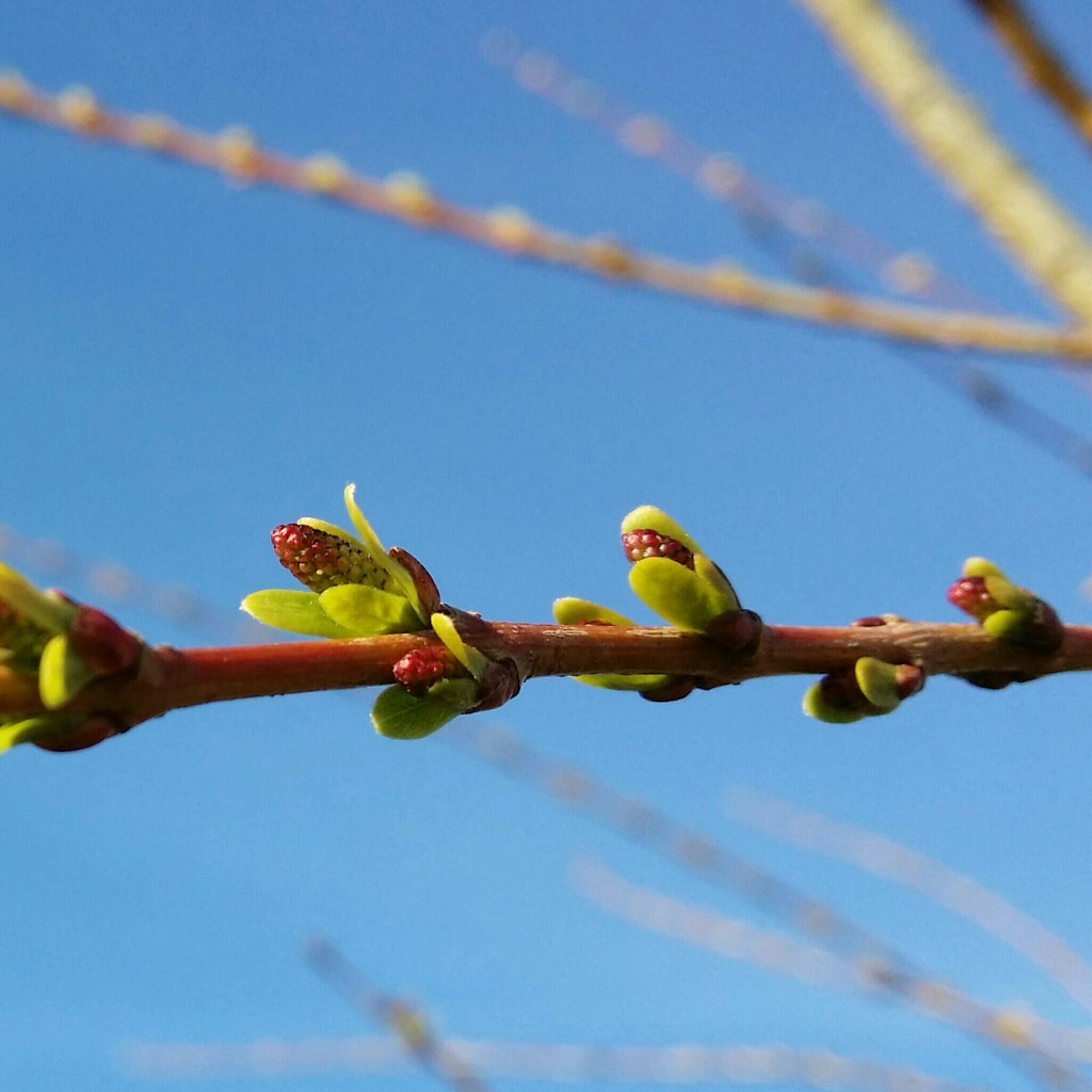 Makro Harlekinweide Frühling
