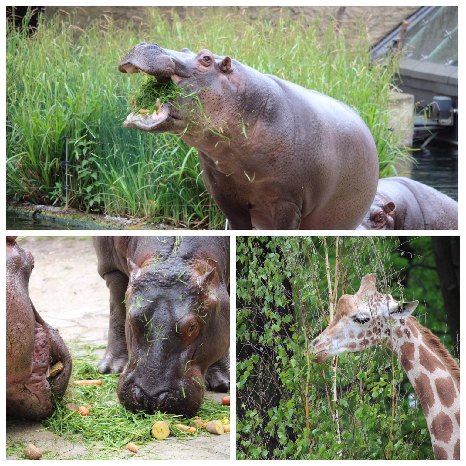 zoo berlin fütterung flusspferd nilpferd