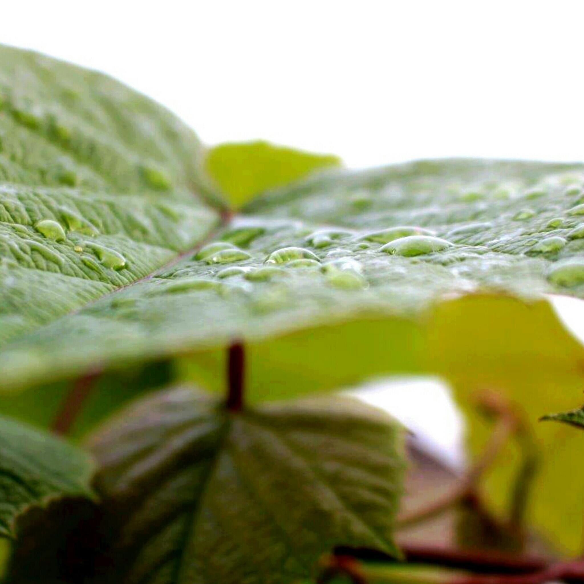 Weinblatt Regen Makro
