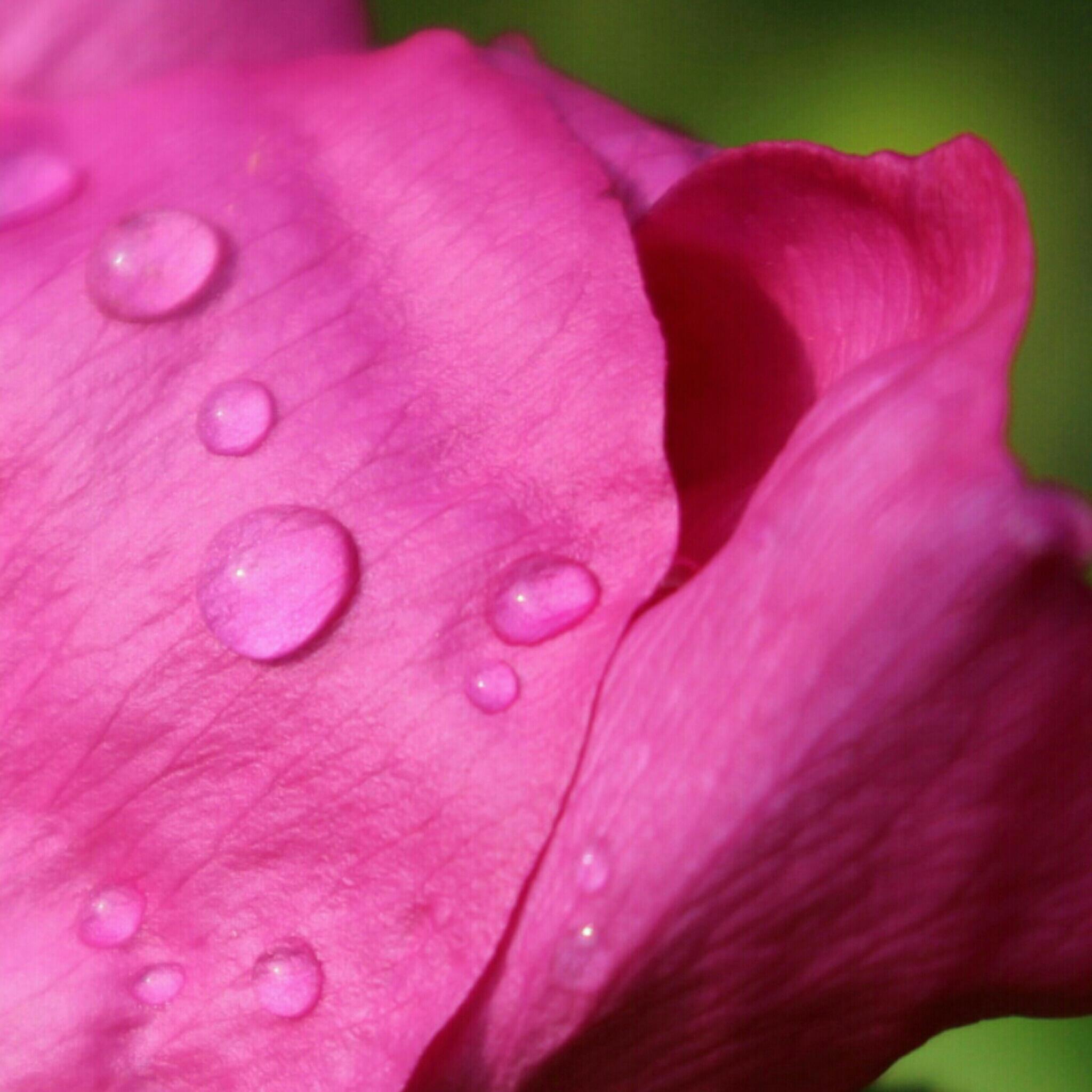 Regen auf Rose